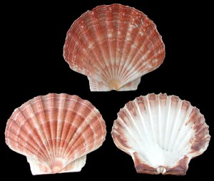 Topsail-Island-Scallop-Shell
