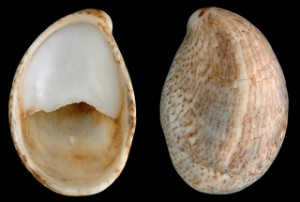Topsail-Island-Slipper-Shell